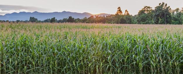 Campi di grano prima che il sole tramonti Foto Premium
