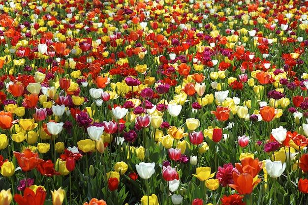 Campo bella tulipani Foto Gratuite