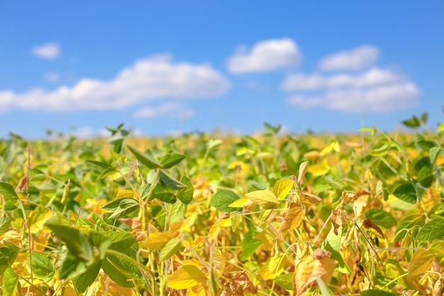 Campo con soia maturata. glicina max, semi di soia, semi di soia in crescita semi di soia in crescita. Foto Premium