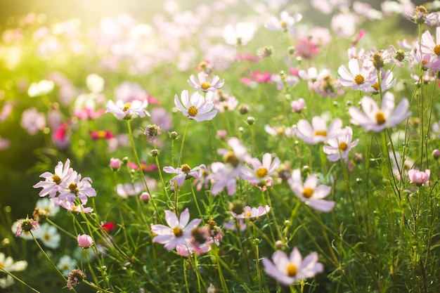 Campo dei fiori rosa e bianchi di estate alla luce solare calda Foto Premium