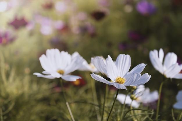 Campo del fiore dell'universo Foto Premium