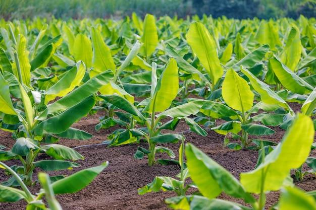 Campo di banane indiano Foto Premium