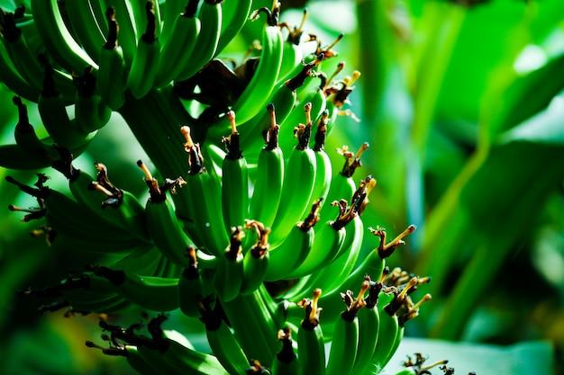 Campo di banane verdi Foto Premium