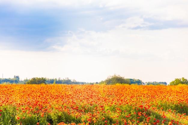 Campo di fiori di papavero in fiore in primavera, repubblica ceca Foto Premium