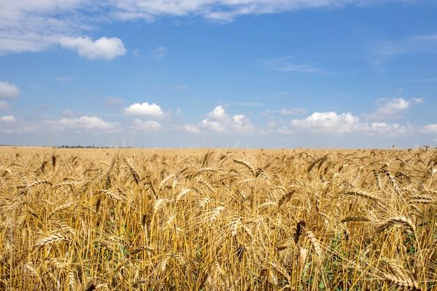Campo di grano dorato sotto il cielo blu e nuvole Foto Premium