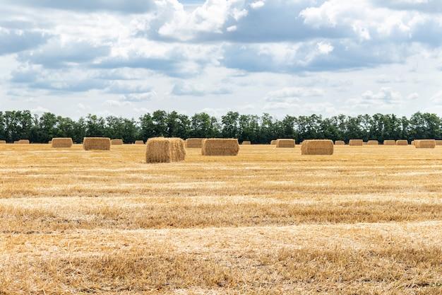 Campo di grano raccolto della segale dell'orzo del grano del cereale del grano. Foto Premium