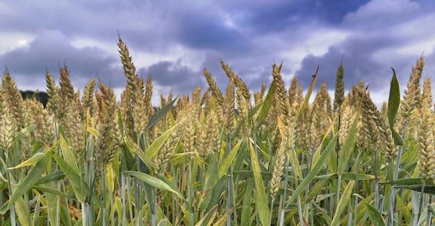 Campo di grano sopra il cielo drammatico nuvoloso Foto Premium
