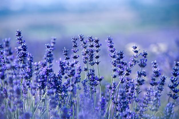 Campo di lavanda in estate. aromaterapia. cosmetici naturali. Foto Premium