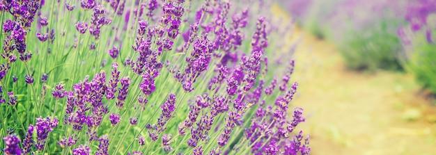 Campo di lavanda in fiore. fiori estivi. Foto Premium