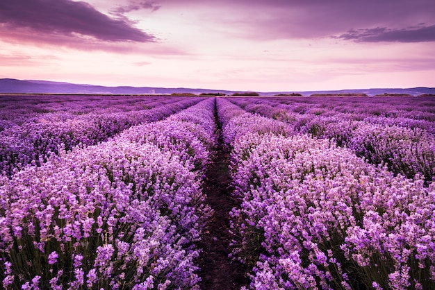 Campo di lavanda in fiore sotto i colori viola del tramonto estivo Foto Premium