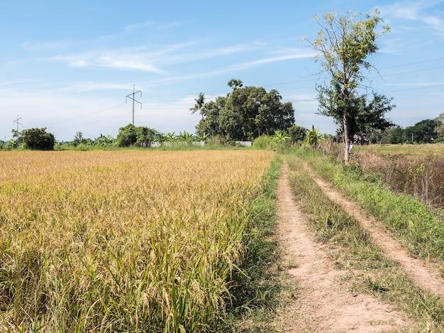 Campo di risaia dorato pronto per la mietitura. Foto Premium