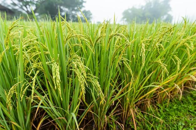Campo di riso con percorso al mattino Foto Premium