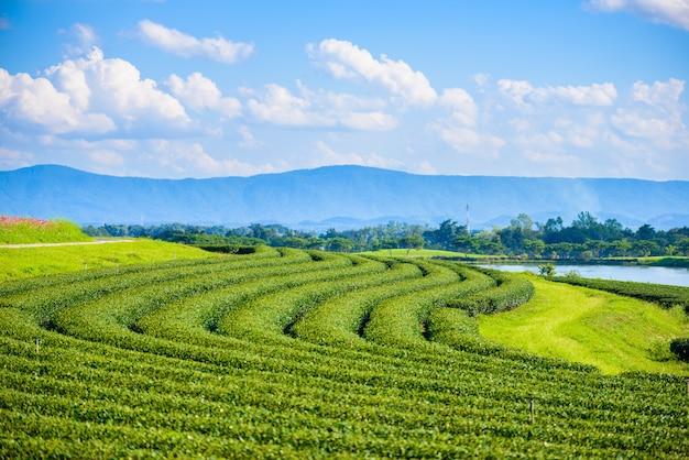Campo di tè verde con cielo blu Foto Premium
