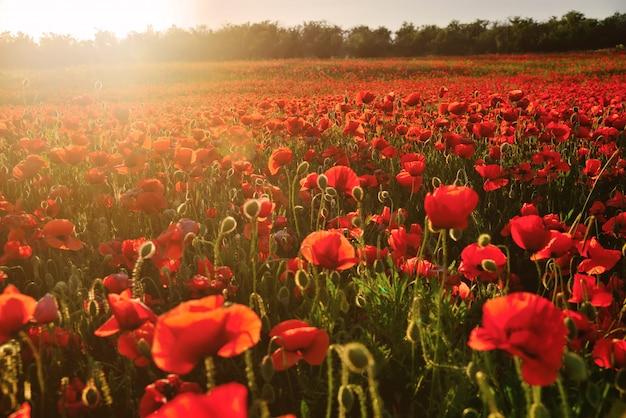 Campo fiorito di papaveri rossi nei raggi del tramonto Foto Premium