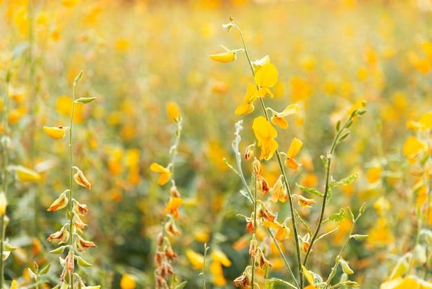 Campo giallo dei fiori (canapa di sunn) alla luce solare con il fuoco selettivo Foto Premium