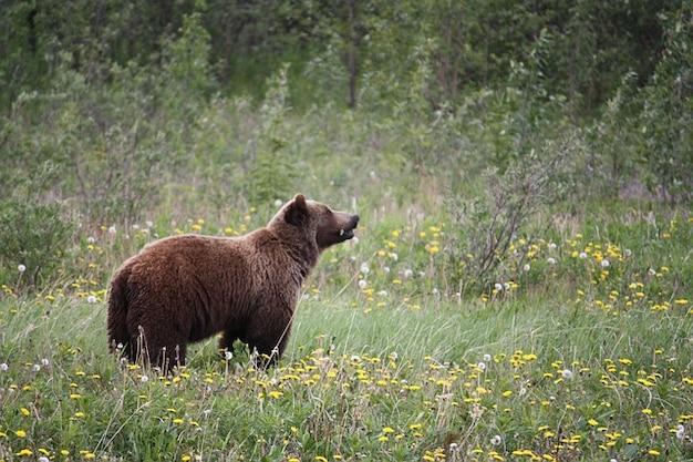 Canada orso grizzly orsi baer scaricare foto gratis for Affitti cabina grande lago orso