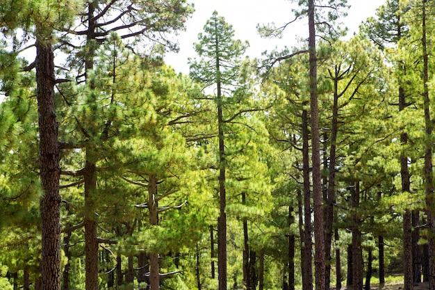 Canary pines la palma nella caldera de taburiente Foto Premium