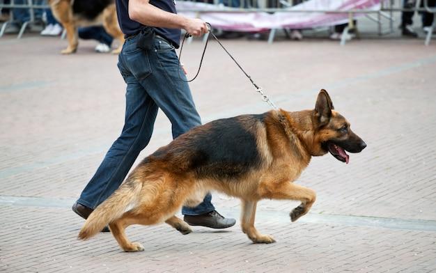 Cane ambulante con pastore tedesco Foto Premium
