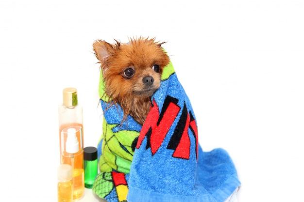 Cane ben curato. un cane pomeranian fare la doccia. cane in bagno. toelettatura per cani Foto Premium