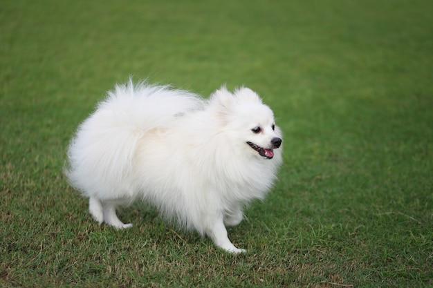 Cane bianco di pomeranian su prato inglese verde. Foto Premium