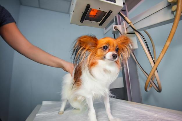 Cane che riceve una radiografia in una clinica veterinaria. medico che esamina cane nella stanza dei raggi x. Foto Premium