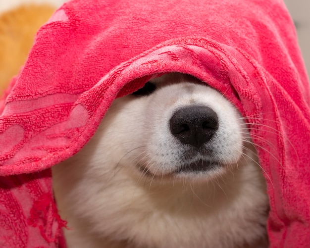 Cane coperto con un asciugamano akita inu Foto Premium