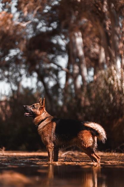 Cane da pastore tedesco sul fiume Foto Premium
