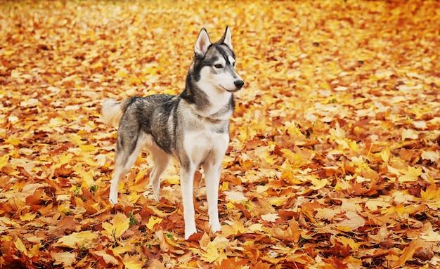 Cane del husky nel parco in autunno, cane per il calendario Foto Premium