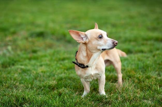 Cane della chihuahua liscio su una passeggiata. chihuahua della testarossa nell'erba verde di estate. un cane cammina nel parco in una giornata autunnale. il concetto di animali domestici. felice animale domestico in natura. cammina con il cane. il cane sta aspettando Foto Premium