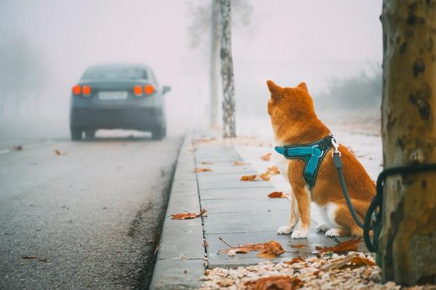 Cane della razza di shiba inu abbandonato sulla via Foto Premium