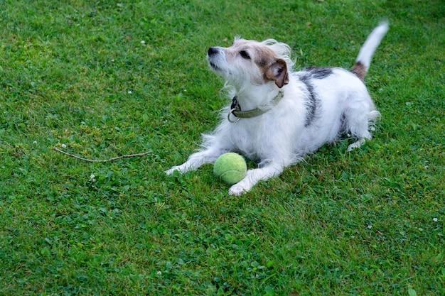 Cane di razza jack russell terrier si trova sul prato e protegge la palla Foto Premium