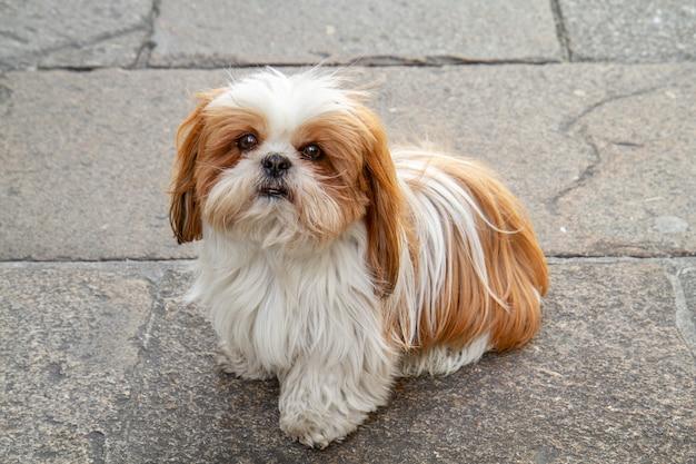 Cane di shih tzu seduto con i capelli bianchi e castani Foto Premium
