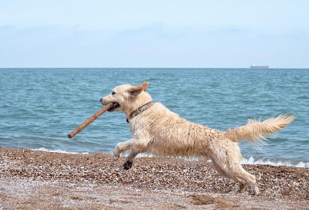Cane dorato bianco di labrador retriever sulla spiaggia Foto Premium