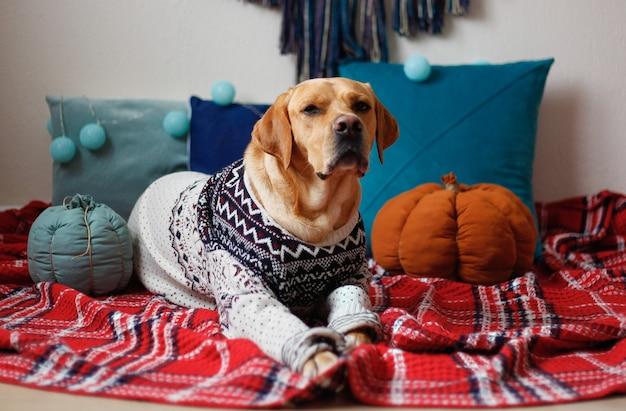 Cane labrador in un maglione di natale che si trova sulla coperta rossa Foto Premium