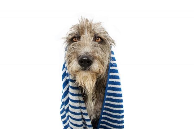 Cane nero del ritratto avvolto con l'asciugamano a strisce blu pronto per il bagno, il bagno o fare una doccia. Foto Premium
