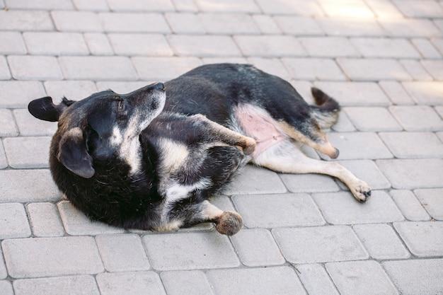 Cane paralizzato senza tre zampe sdraiato sulla strada, Foto Premium