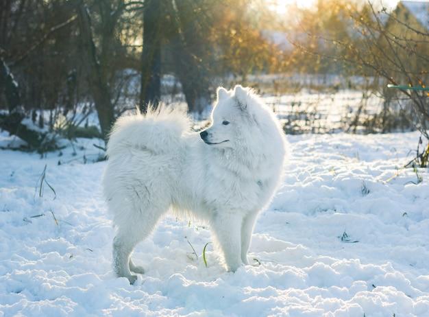 Cane samoiedo in piedi nella neve guardando lontano. illuminazione al tramonto Foto Premium