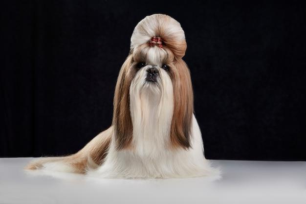 Cane shih tzu con crocchia per capelli Foto Premium