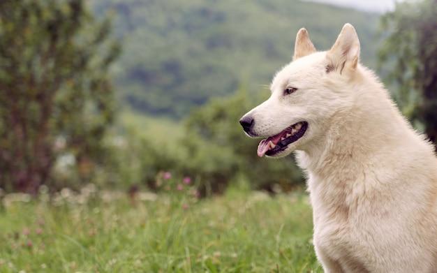 Cane siberiano di laika nella natura all'aperto Foto Premium