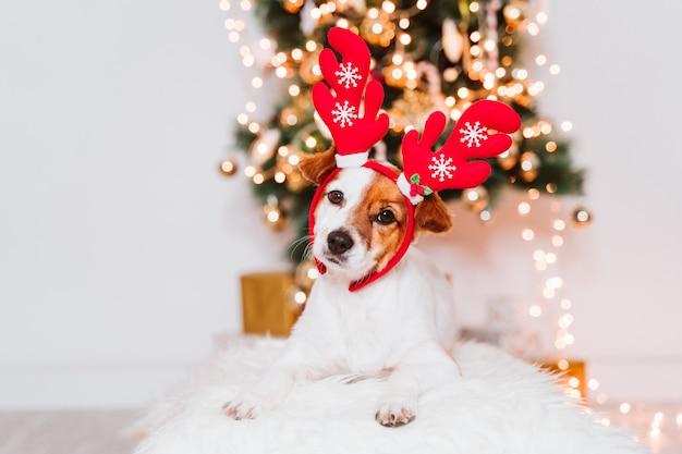 Cane sveglio di jack russell a casa dall'albero di natale, cane che indossa un diadema rosso di santa Foto Premium