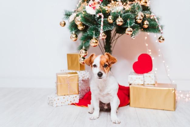 Cane sveglio di jack russell a casa dall'albero di natale Foto Premium