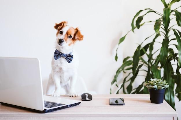 Cane sveglio di jack russell che lavora al computer portatile a casa. elegante cane che indossa un papillon. stare a casa. tecnologia e concetto di interni Foto Premium