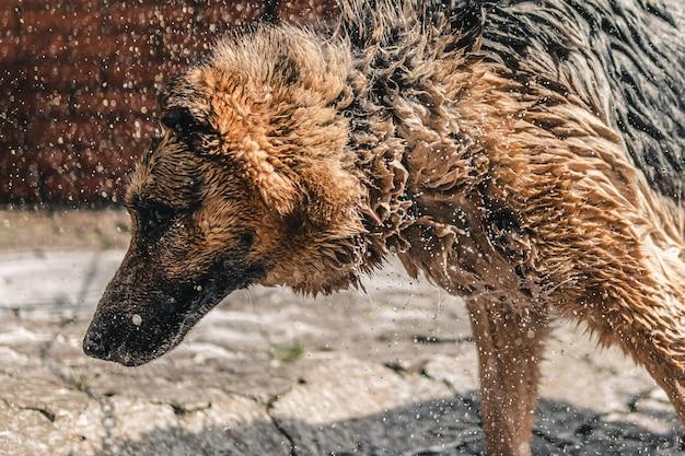 Cane triste bagnato. cane dopo il lavaggio. Foto Premium