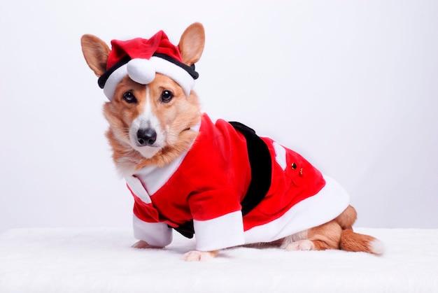 Foto Di Cani Vestiti Da Babbo Natale.Cane Vestito Da Babbo Natale Scaricare Foto Premium
