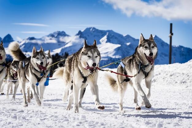 Cani da slitta nelle corse veloci Foto Premium