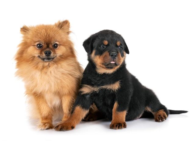 Cani isolati Foto Premium