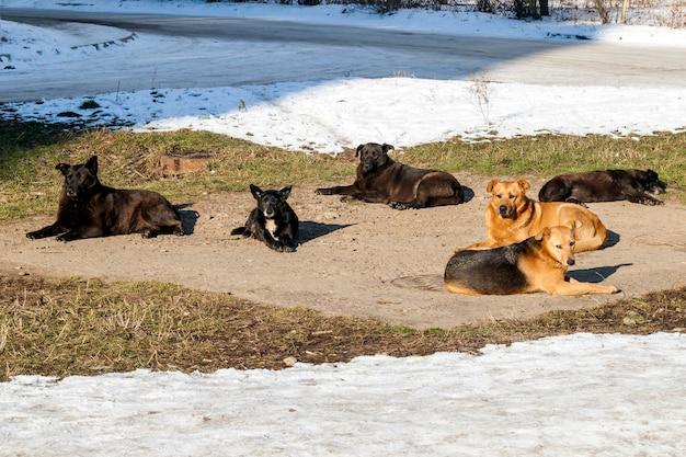 Cani senza tetto nell'orario invernale che riscaldano bene sui sanitari. cani randagi crogiolarsi sul portello di fogna nella stagione fredda in inverno Foto Premium