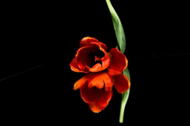 Capolino arancio del tulipano che riflette su fondo nero Foto Gratuite