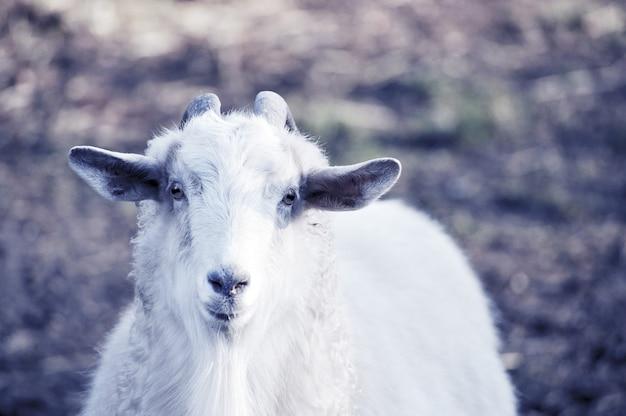 Capra bianca in un paesaggio naturale Foto Premium