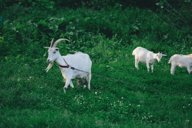 Capra con i suoi cuccioli nella fattoria. famiglia di una madre e dei suoi figli Foto Premium